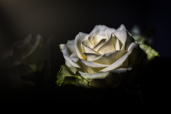 A White Rose in the Sunlight
